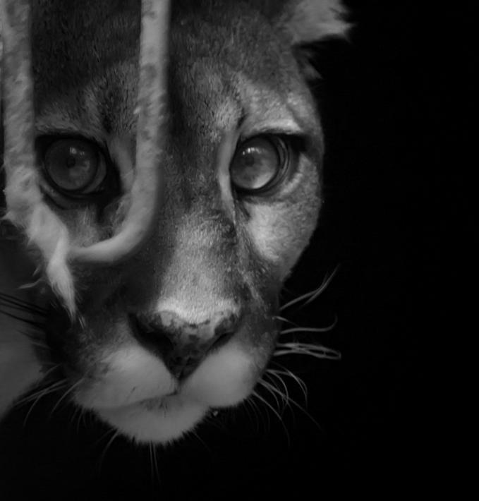 She-cougar