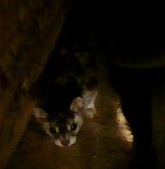 Weasel closeup