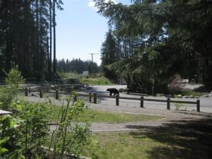Black bear near the Seymour forest